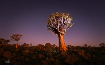 Quiver Tree Forest Keetmanshoop Namibia