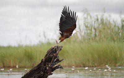 Fish Eagle Chobe Botswana