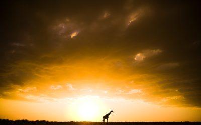 Etosha Sunset Giraffe